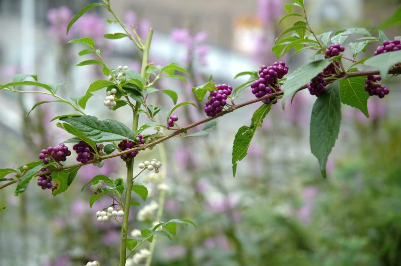 紫式部 植物 ドライ フラワー